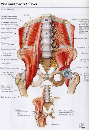 piriformis muscle, Human Body